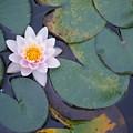 Lotus Flower by Bethwyn Mills