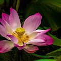 Lotus Flower by John Greene