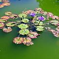 Lotus Flowers #4 by Ed Weidman