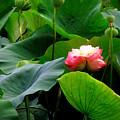 Lotus Forms by Deborah  Crew-Johnson