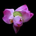 Lotus In Bloom by Neil Doren