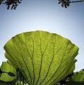 Lotus Leaf by Harry Spitz
