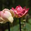 Lotus by Penny Smith