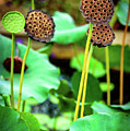 Lotus Plant - Lotus Seed Pods by Global Light Photography - Nicole Leffer