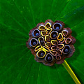 Lotus Pod by Chris Lord