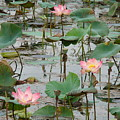 Lotus Pond-1 by Reshmi Shankar