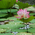 Lotus Pond #3 by Amber Barth