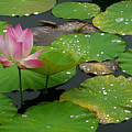 Lotus Pond  by Amber Barth