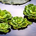 Lotus Pond by Jijo George