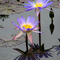 Lotus Reflection 4 by David Dunham
