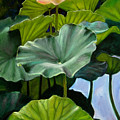 Lotus Rising by John Lautermilch