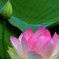 Lotus Siblings by Byron Varvarigos