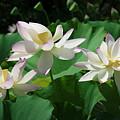 Lotus--sisters Iv Dl0085 by Gerry Gantt