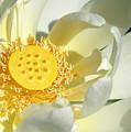 Lotus Up Close by Sabrina L Ryan