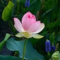 Lotus With Blues by Byron Varvarigos