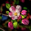 Louisa Apple Blossom 001 by George Bostian