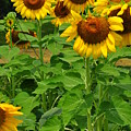 Louisa, Va. Sunflowers 3 by Amy Spear