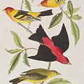 Louisiana Tanager Or Scarlet Tanager  by John James Audubon