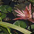 Louisiana Waterlilly by Ronald Olivier