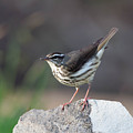 Louisiana Waterthrush by Tom Ingram