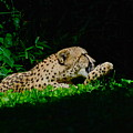 Lounging Cat by Gene Sizemore