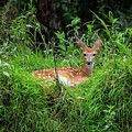 Lounging Fawn by Thomas Morrow