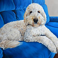 Lounging Goldendoodle  by Alexandra Cech