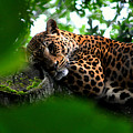 Lounging Leopard by Darin Bokeno