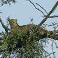 Lounging Leopard by Michele Burgess
