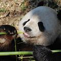 Lovable Giant Panda Bear With Big Paws by DejaVu Designs