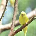 Lovable Little Budgie Parakeet Living In Nature by DejaVu Designs