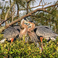 Love Birds - Great Blue Heron by HH Photography of Florida