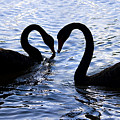 Love Birds On Swan Lake by Jorgo Photography - Wall Art Gallery