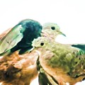 Love Birds by Sawan Jagnarain
