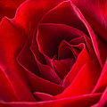 Love Is A Red Rose by Dale Kincaid