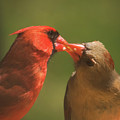 Love Is In The Air Cardinals Square by Terry DeLuco