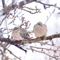Love Is In The Air - Mourning Dove Couple by Kerri Farley