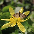 Tasting Marsh Marigold  by Jane Powell