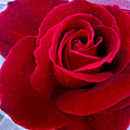 Love Red Rose by Haleh Mahbod