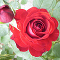 Love Roses by Lisa Roy