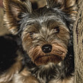 Loveable Yorkie  by Kathy Clark