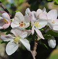 Lovely Apple Blossoms by Carol Groenen