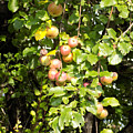 Lovely Apples On The Tree by William Tasker