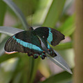 Lovely Blue And Black Emerald Swallowtail Buterfly by DejaVu Designs