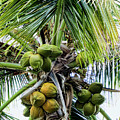 Lovely Bunch Of Coconuts by Phyllis Taylor