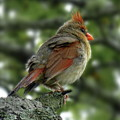 Lovely Female Cardinal by Lyuba Filatova