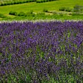 Lovely Lavender  by Elinor Schwob