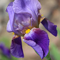 Lovely Leaning Iris Mother's Day Card by Carol Groenen