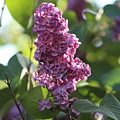 Lovely Lilac by Claudette Letendre