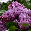 Lovely Lilacs by Annie Babineau